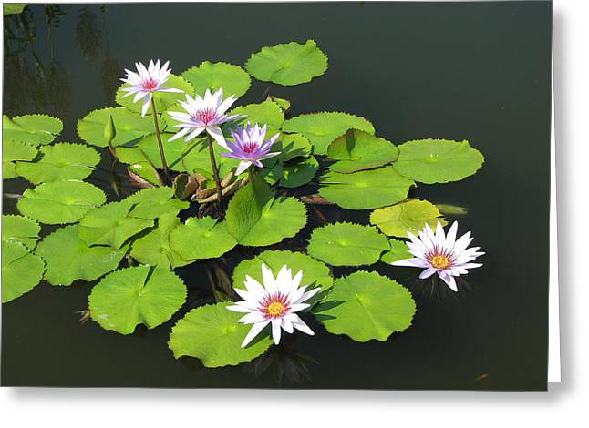 Lilly Pad Greeting Cards - Floating Flowers  Greeting Card by April Camenisch