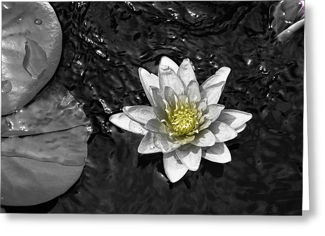 Recently Sold -  - Water Lilly Greeting Cards - Floating Lilly Greeting Card by Nancy Moreau