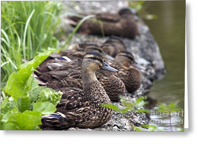 Flocks Of Ducks Greeting Cards - Flock Of Ducks On The Shore Greeting Card by Michal Boubin