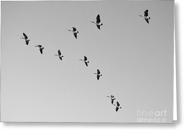 Flying Animal Greeting Cards - Flock of Geese Flying in Formation Black and White Greeting Card by Shawn O