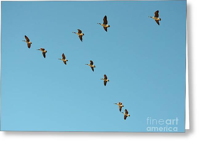 Flying Animal Greeting Cards - Flock of Geese Migration Flying in Formation Greeting Card by Shawn O
