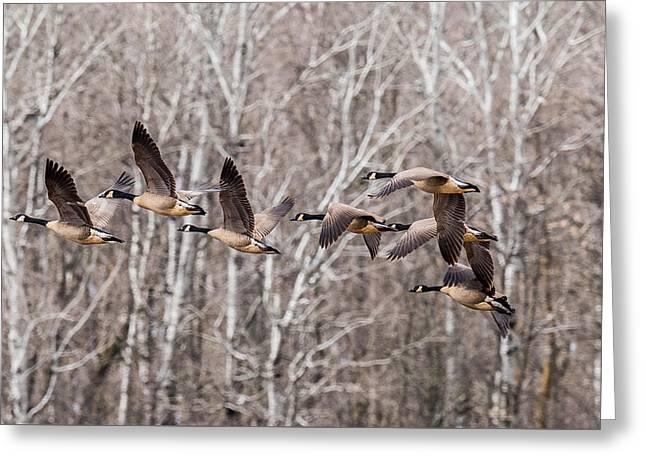 Ganders Greeting Cards - Flock Of Geese Greeting Card by Paul Freidlund