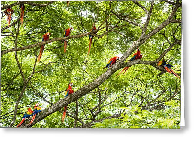 Costa Rica Greeting Cards - Flock of scarlet macaws Greeting Card by Oscar Gutierrez