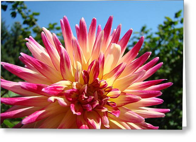 Dinner-plate Dahlia Greeting Cards - Floral art Pink Yellow Dahlia Flower Baslee Troutman Greeting Card by Baslee Troutman