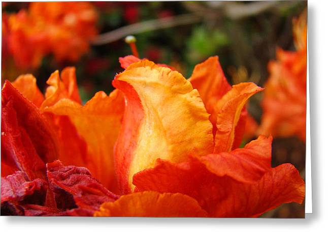 Floral Art Prints Orange Rhodies Rhododendrons Baslee Troutman Greeting Card by Baslee Troutman