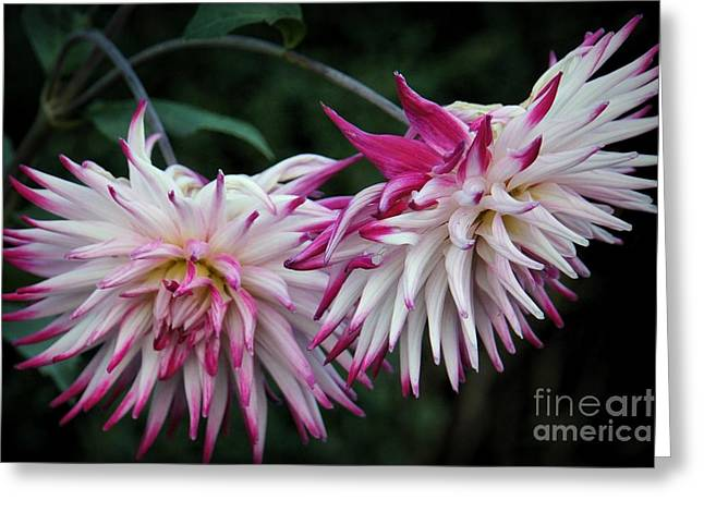 Pinks And Purple Petals Photographs Greeting Cards - Floral Explosion Greeting Card by Patricia Strand
