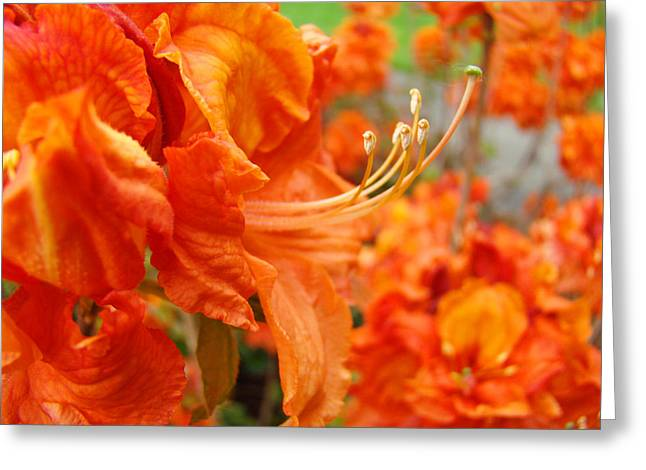 Floral Garden Art Prints Orange Rhododendrons Baslee Troutman Greeting Card by Baslee Troutman