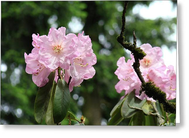 Pink Rhodies Greeting Cards - Floral Garden Pink Rhododendron Flowers Baslee Troutman Greeting Card by Baslee Troutman