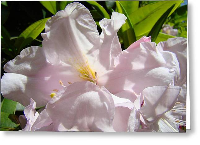 Pink Rhodies Greeting Cards - Floral Rhdodendron Flower art print Pink Sunlit Rhodies Baslee Greeting Card by Baslee Troutman