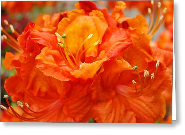 Rhodie Greeting Cards - Floral Rhodies Art Prints Orange Rhododendrons Canvas Art Baslee Troutman Greeting Card by Baslee Troutman