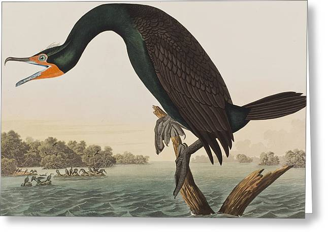 Cormorants Greeting Cards - Florida Cormorant Greeting Card by John James Audubon