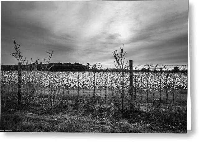 Florida Cotton Fields Black And White Greeting Card by Debra Forand