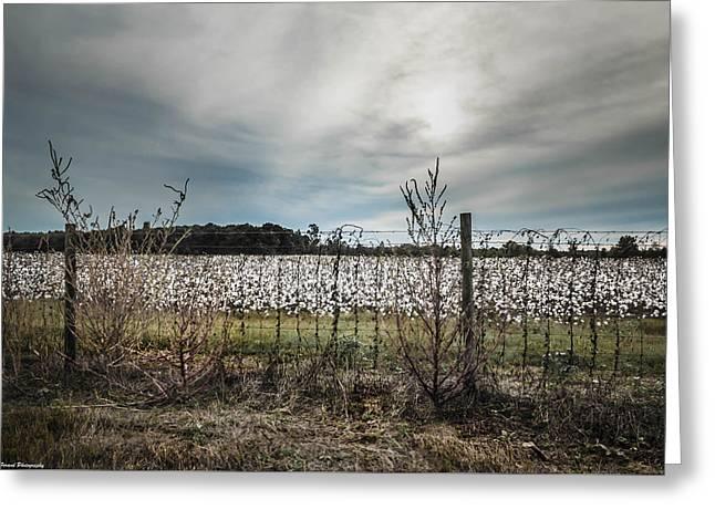 Florida Cotton Fields Greeting Card by Debra Forand
