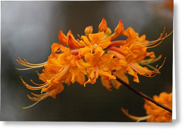 Gray Flames Greeting Cards - Florida Flame Azalea in Pastel Greeting Card by Suzanne Gaff