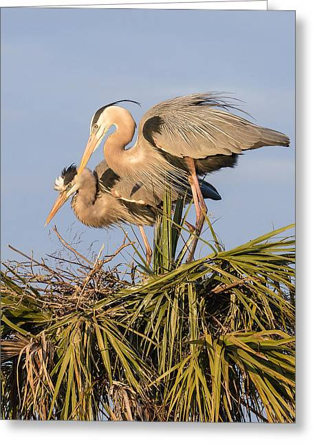 Bird On Tree Greeting Cards - Florida Great Blue Herons Nesting Four Greeting Card by Bill Swindaman