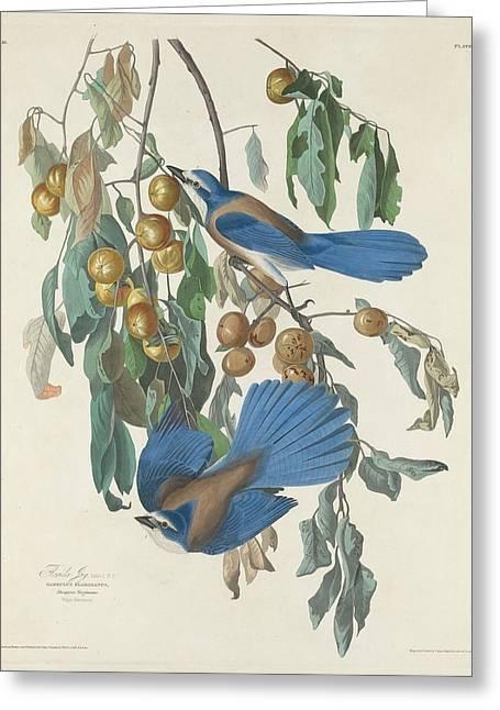 Naturalist Greeting Cards - Florida Jays Greeting Card by John James Audubon