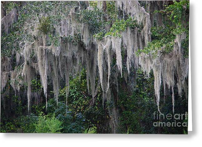 Swampland Greeting Cards - Florida Mossy Tree Greeting Card by Carol Groenen
