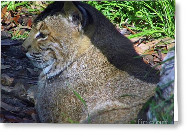 Bobcats Photographs Greeting Cards - Floridas Other Big Cat Greeting Card by D Hackett