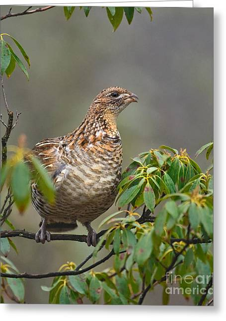 Game Greeting Cards - Flower Bud Eating Grouse Greeting Card by Timothy Flanigan
