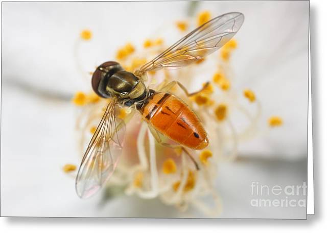 Multiflora Greeting Cards - Flower Fly Toxomerus Marginatus Greeting Card by Clarence Holmes