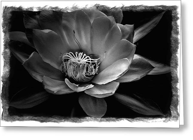 Flower Of One Night Greeting Card by Tom Bell