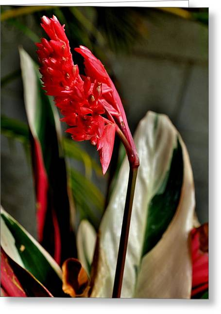 Print Photographs Greeting Cards - Flower on a Ginger Plant Greeting Card by John Trommer