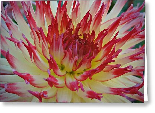 Dinner-plate Dahlia Greeting Cards - Flower on Fire Greeting Card by Patricia Strand