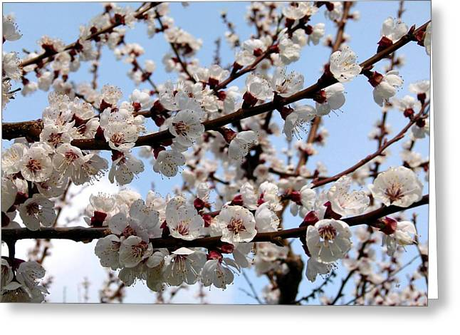 Flowering Apricot Tree Greeting Card by Will Borden