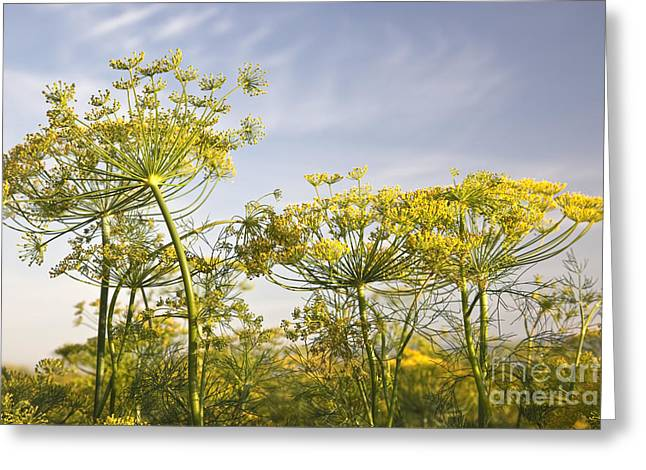 Flowers In California Greeting Cards - Flowering Dill Greeting Card by Inga Spence