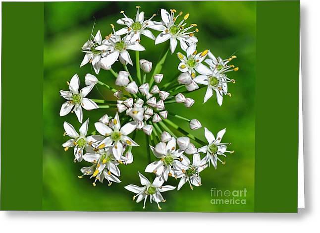 Flowering Garlic Chives Greeting Card by Kaye Menner