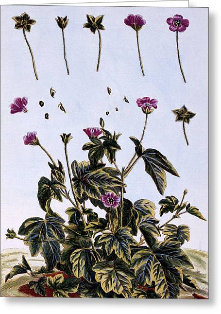 Flowering Maple Or Indian Mallow Greeting Card by Pierre-Joseph Buchoz