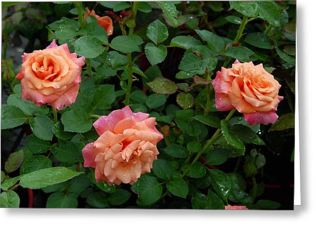 Roses Greeting Cards - Flowers 710 Greeting Card by Joyce StJames