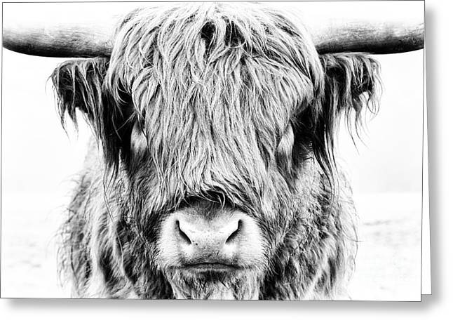 Highland Cow Greeting Cards - Fluffy Greeting Card by Tim Gainey