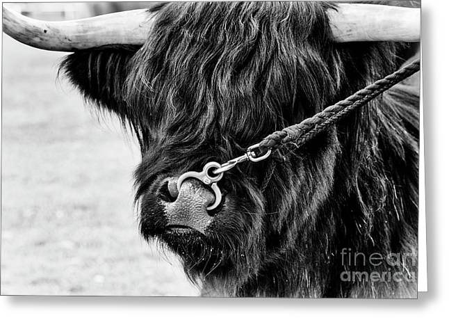 Black And White Cow Greeting Cards - The Boyz Greeting Card by Tim Gainey