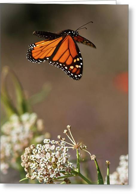 Butterfly In Flight Greeting Cards - Fly away - Monarch Butterfly Greeting Card by Carl Jackson