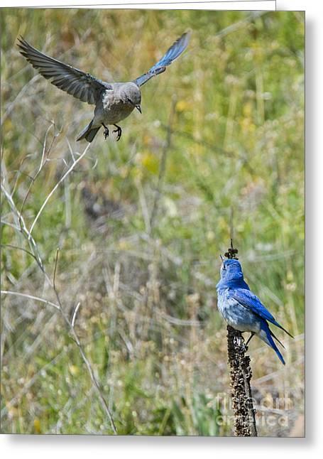 Bluebird Greeting Cards - Flyby Flirt Greeting Card by Mike Dawson