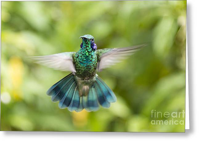 Hovering Greeting Cards - Flying Green violetear hummingbird Greeting Card by Oscar Gutierrez