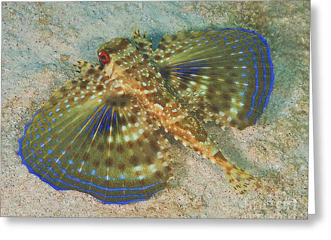 Batfish Greeting Cards - Flying Gurnard On Sand In Carribean Sea Greeting Card by Karen Doody