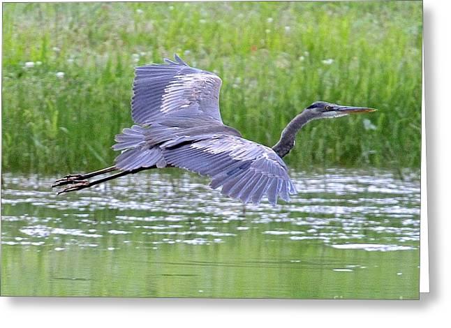 Bird Summit Greeting Cards - Flying Heron Greeting Card by Robin Erisman