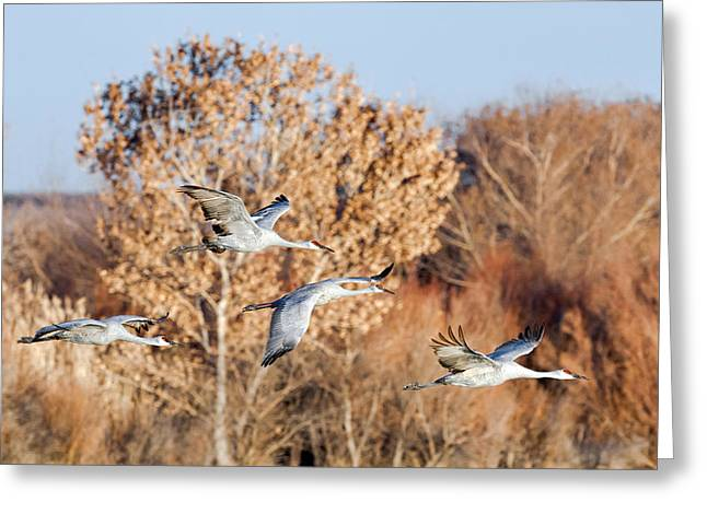 Southwestern Birds Greeting Cards - Flying In - Sandhill Cranes 1 Greeting Card by Sharon Norman