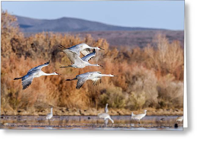 Southwestern Birds Greeting Cards - Flying In - Sandhill Cranes 2 Greeting Card by Sharon Norman