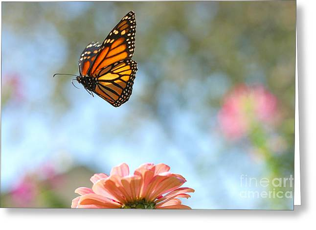 Flying Monarch Greeting Card by Steve Augustin