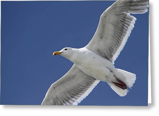 Flying Seagull Greeting Cards - Flying Seagull Against a Summer Sky Greeting Card by Peggy Collins