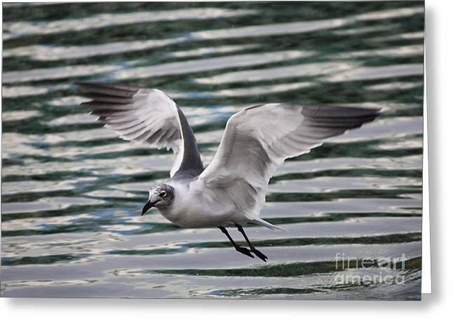 Flying Seagull Greeting Card by Carol Groenen