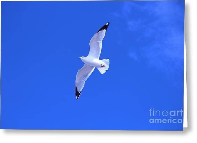 Flying Seagull Greeting Cards - Flying Seagull Greeting Card by Rae Anna Frame