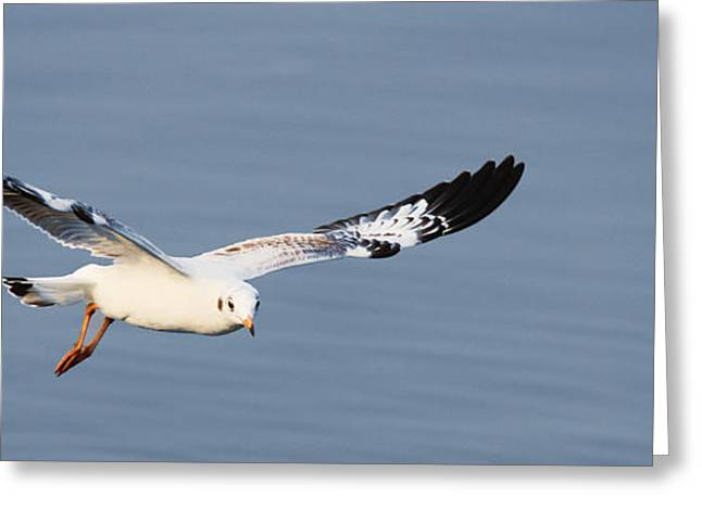 Hovering Greeting Cards - Flying seagull  Greeting Card by Vimol Chantree