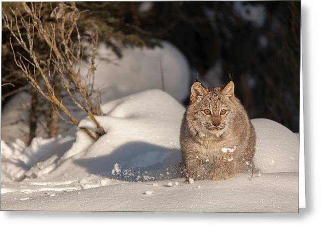 Bobcats Photographs Greeting Cards - Flying Snow and Bobcat Greeting Card by Sandy Brooks