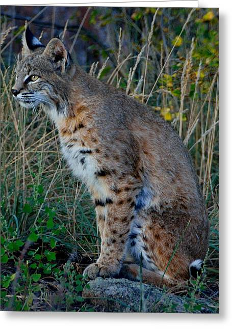 Bobcats Photographs Greeting Cards - Focused On the Hunt 2 Greeting Card by Tranquil Light  Photography