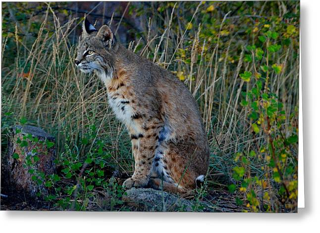 Bobcats Photographs Greeting Cards - Focused On the Hunt Greeting Card by Tranquil Light  Photography