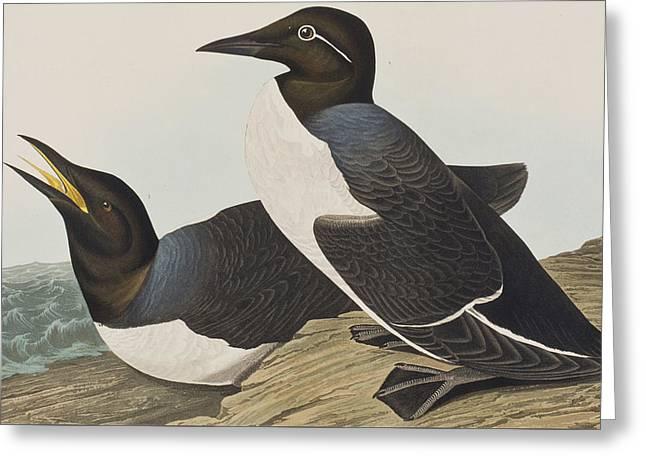 Ornithological Drawings Greeting Cards - Foolish Guillemot Greeting Card by John James Audubon
